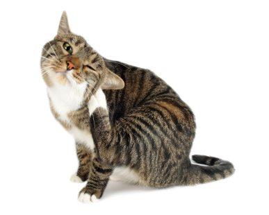 vlooien-kat-dierenarts-arnhem-elke